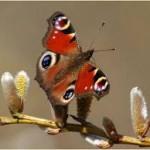 SchmetterlingFrühling